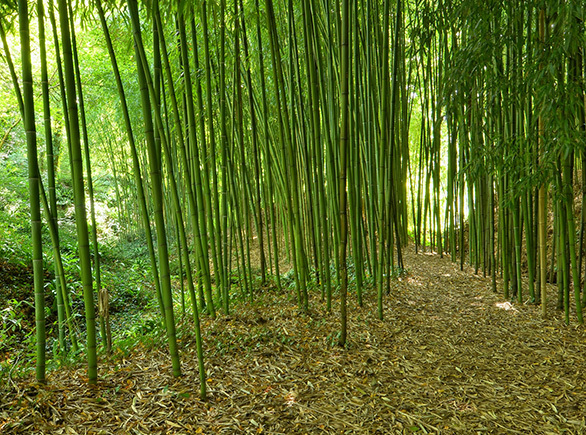 The Giant Bamboo Forest